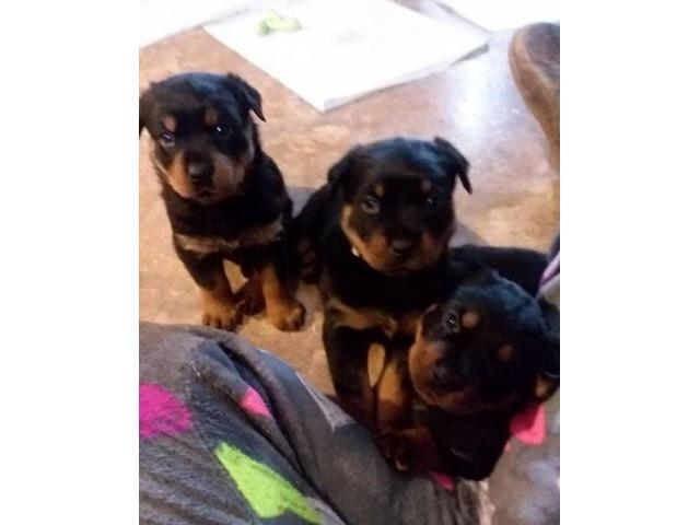 Pure Bred Rottweiler Puppies Animals Northville New York