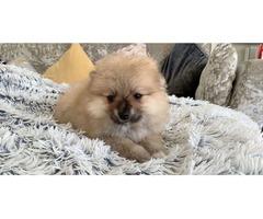 Pomeranians  | free-classifieds-usa.com