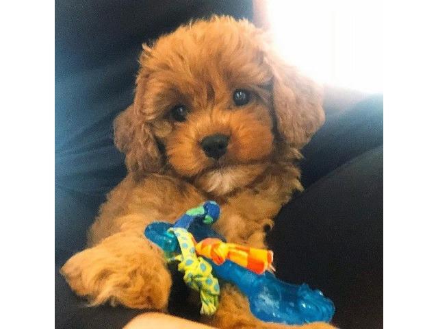 Cavapoo Puppy    free-classifieds-usa.com