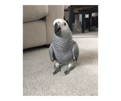 African Grey Parrot Super Tame