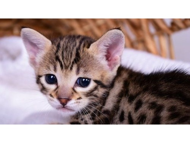 Savannah Kitten | free-classifieds-usa.com