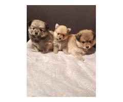 Toy Pomeranian