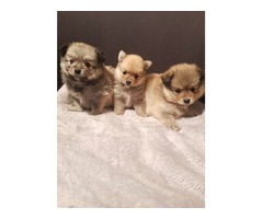Toy Pomeranian | free-classifieds-usa.com