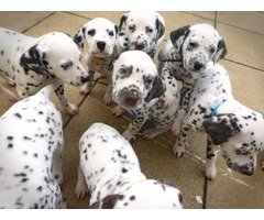 Capearlla Kc Dalmatian Puppies