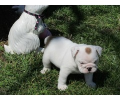 English Bulldog Puppies For Sale | free-classifieds-usa.com