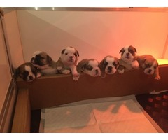 Gorgeous English Bulldog Puppies