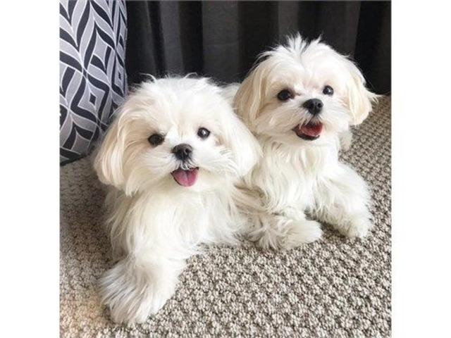 Healthy Maltese Pups | free-classifieds-usa.com