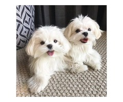 Healthy Maltese Pups