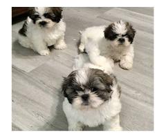 SHIH TZU PUPPIES | free-classifieds-usa.com