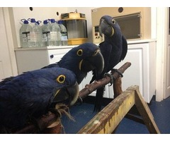 Talking Hyacinth Macaw Parrot