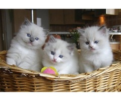 Male And Female Ragdoll Kittens Ready For Sale