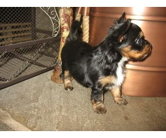 Yorkiemaltese, Female Available