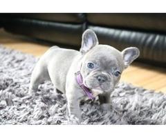 Akc Registered Blue Merle French Bulldog