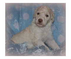 AKC Standard Poodle Puppies - For Sale