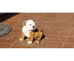 English Bulldogs AKC - For Sale