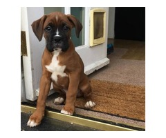 11 weeks old Boxer puppies female.Very friendly to humans