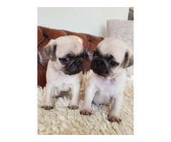 Two Pug Puppies Needs a New Family