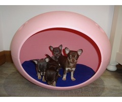 Top Class Smooth Coat Puppies Available