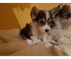 Welsh Corgi (Pembroke) Puppies for Sale