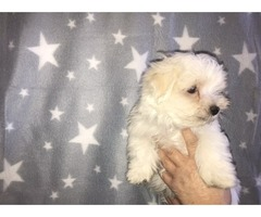 Adorable Teacup maltase puppies available for adoption