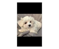 Charming White Maltase Puppy!!!
