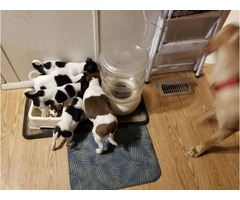 Fox terrier puppies