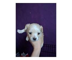 Chihuahua Puppy | free-classifieds-usa.com