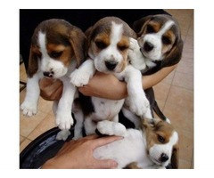 Beagle puppies for sale | free-classifieds-usa.com