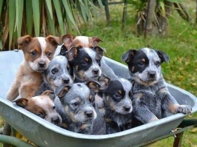 Australian Cattle puppies | free-classifieds-usa.com