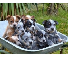 Australian Cattle puppies