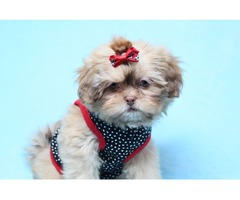 Amazing Teacup And Toy Pups | free-classifieds-usa.com