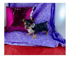 Party yorkie GIRL !!! | free-classifieds-usa.com