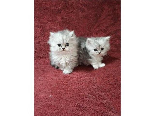 Persian Kittens Ready Now | free-classifieds-usa.com
