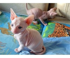 Sphynx kittens for sale.