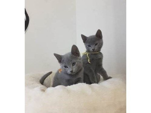 Russian blue kittens | free-classifieds-usa.com