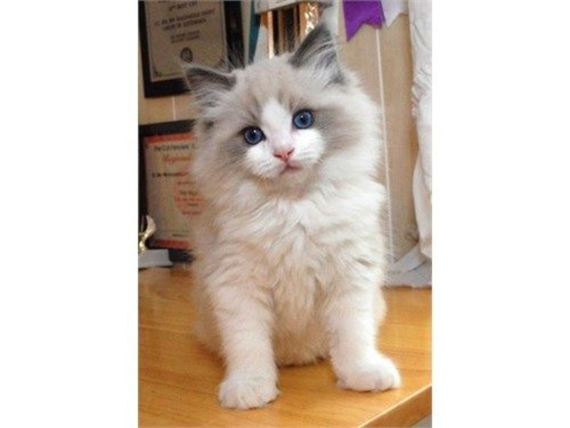 Beautiful Ragdoll | free-classifieds-usa.com