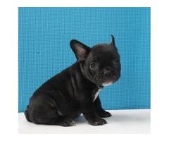 Akc Robbie-black Male French Bulldog-9 Weeks