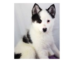 Amy the Black and White Piebald Pomsky - For Sale