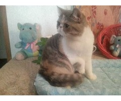 CFA Reg Dilute Calico Female For Sale!