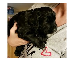 Goldendoodle puppies - For Sale