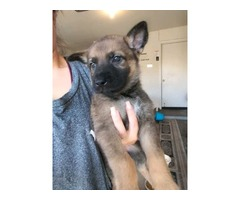 Purebred German Shepherd Puppy - For Sale