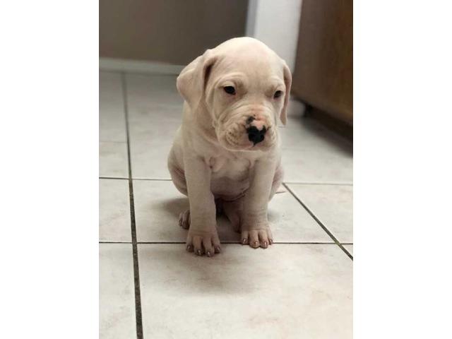 dogoargentinopuppies-ForSale