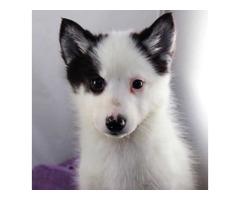 Amy the Black and White Piebald Pomsky - For Sale | free-classifieds-usa.com