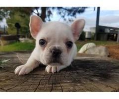 French Bulldog Puppies | free-classifieds-usa.com