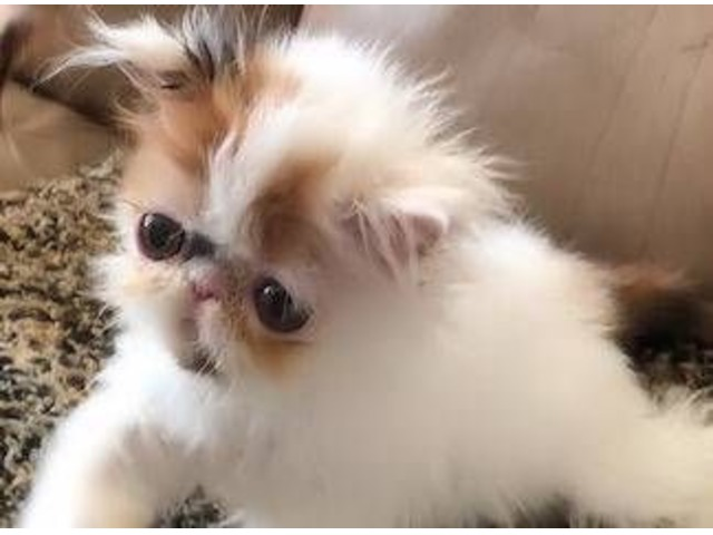 Beautiful CFA Persian Kitten Calico Female   free-classifieds-usa.com