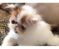 Beautiful CFA Persian Kitten Calico Female