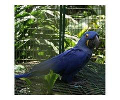 Healthy parrots and Fertile parrot eggs for sale