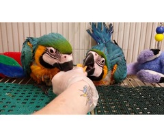 Extremely beautiful baby Macaw blue and gold  | free-classifieds-usa.com