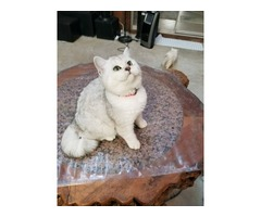 British Shorthair Kittens for Sale / Adoption | free-classifieds-usa.com