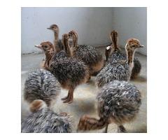 Ostrich Chicks in Middelburg South Africa